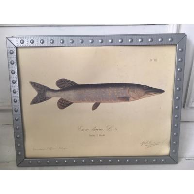 Exclusieve vissenprent in mooie lijst, zonder glas