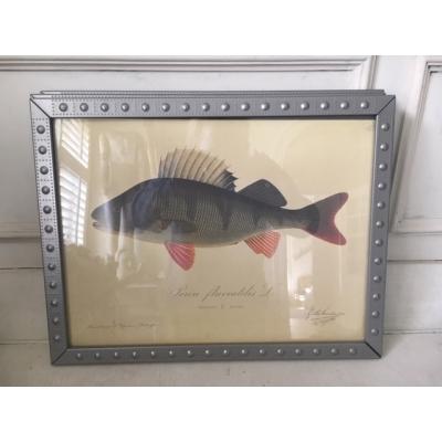 Exclusieve vissenprent in mooie lijst