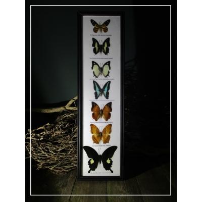 7 opgezette vlinders in lijst